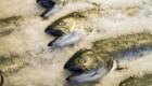 طپخ ماهی قزل آلا با سس بادام