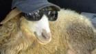 طنز نامه گوسفند