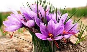 این فرآورده گیاهی نقش اصلی در  پیشگیری از سرطان کبد دارد