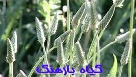دانستنی هایی درمورد گیاه بارهنگ