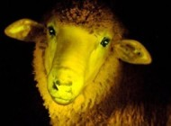 گوسفند عجیب شب تاب هم به تولید انبوه می رسد (عکس)