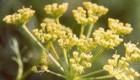 آنغوزه از گیاهان دارویی مهم