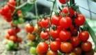 با استفاده از گوجه فرنگی  مشکلات پوستی خود را حل کنید