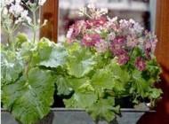 آشنایی با چند  گیاهان خانگی معطر