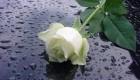 داستانک زیبای گل زیبا