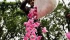 مراسم زیبا و سنتی گلاب گیری در کاشان