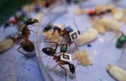 رابطه سن مورچه ها و تنوع شغلی آنها