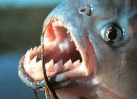 ماهیهای پیرانا را بشناسید
