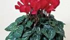 آیا نحوه پرورش از گیاه سیکلمن را میدانید؟
