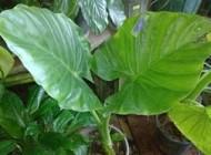 اینگونه از گیاه بابا آدم یا فیلگوش مراقبت کنید