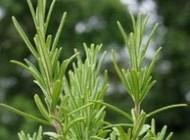 دانستنی درمورد گیاه رز ماری