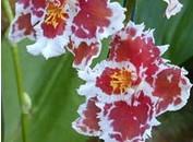 شناخت با انواع گل  ادونتوگلوسم