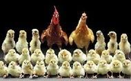 ایا کسی میداند اول مرغ بود یا تخم مرغ !