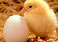 نکته های ریز در مورد مرغ و تخم مرغ