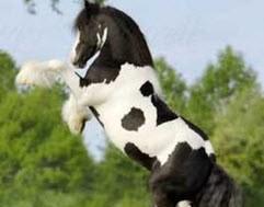 آشنایی با انواع نژاد اسب