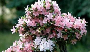 نحوه ی مراقبت از  گل آزاله