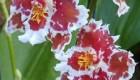 مراقبت از  گل ادونتوگلوسم