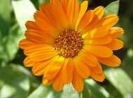 گیاه کالاندولا و خاصیت های کثیر آن