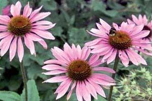 سرخار گل، خاصیت  ضد ویروسی و ضد قارچی دارد
