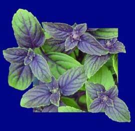 عرقیات گیاهی معجزه آسا