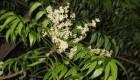 گیاه چریش سدی برای جلوگیری از سفیدی موها