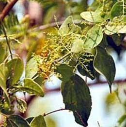 اثرات جالب چوب درخت  مسواک برای سلامت دندان