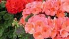 مراقبت از گلهای زیبای شمعدانی