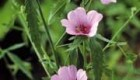 گل ختمی دوست دار زیبایی شما