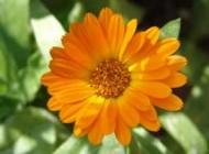 گل همیشه بهار با خاصیت ضد التهابی