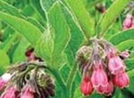 گیاه سمفیتون و با خاصیت های بی کران در پزشکی