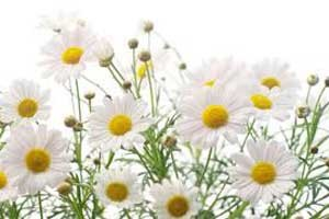 گل بابونه و میگرن های عصبی