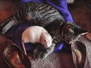 مو شکافی ضرب المثل گربه تنبل را موش طبابت میكند