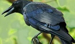 پرنده ای که به باهوشی معروف است