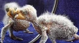 زشت ترین جوجه  پرنده در دنیا
