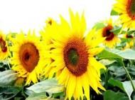 خواص درمانی گل آفتاب گردان