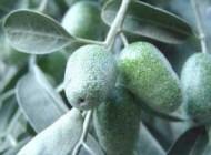 میوه سنجد و خاصیت تب بری