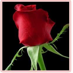 فال جالب تعداد شاخه گل های رز