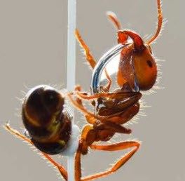 روغن مورچه چه فایده هایی دارد؟