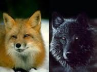 ضرب المثل جالب گرگ و روباه